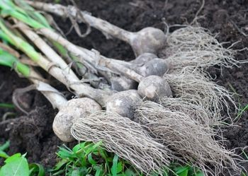 How To Grow Garlic – Growing Garlic Made Easy! – 10/20/11