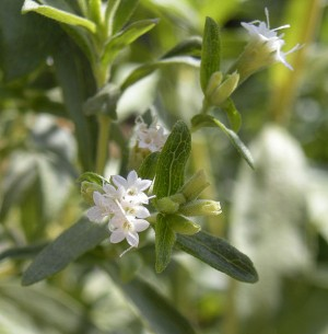 How To Make Your Own Stevia Extract – 12/20/11