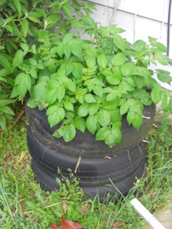 How To Grow Potatoes In a Tire Stack – 4/23/12