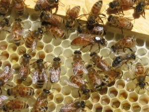 Installing a Bee Package – 5/11/12